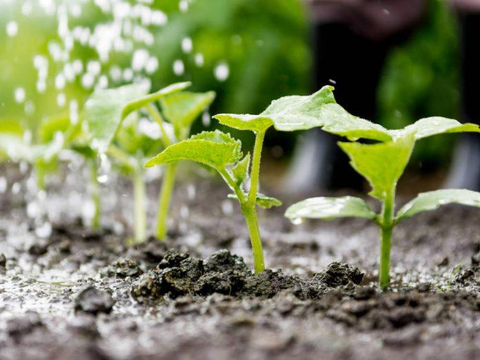 Огірки сіємо весь травень