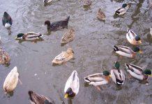 Водоплавні птахи у зарибленій водоймі