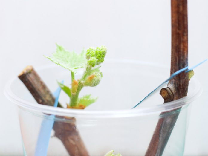 Выращивание одноглазковых зеленых вегетирующих саженцев по природной технологии