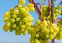 Плодоносность виноградных кустов