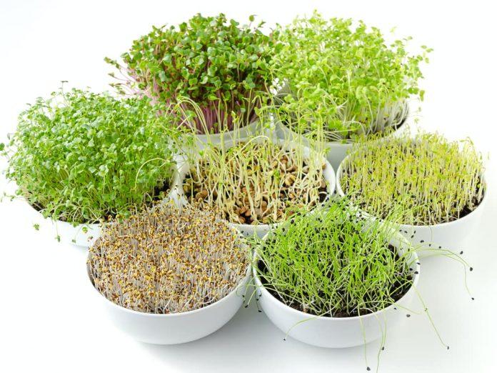 Микрозелень - новая мода в овощеводстве