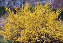 Форзиция - солнечное украшение сада