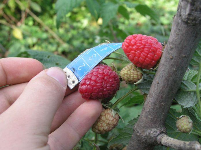 Популярные ремонтантные сорта малины