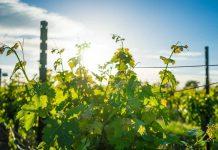 Календарь виноградаря: июнь. Удаляем всё лишнее