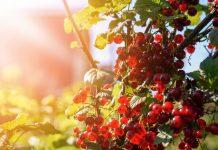 Жара - бич ягодных кустарников