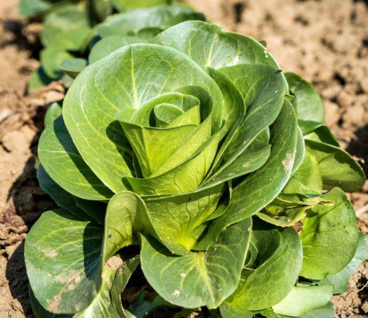 Какой салат посадить?