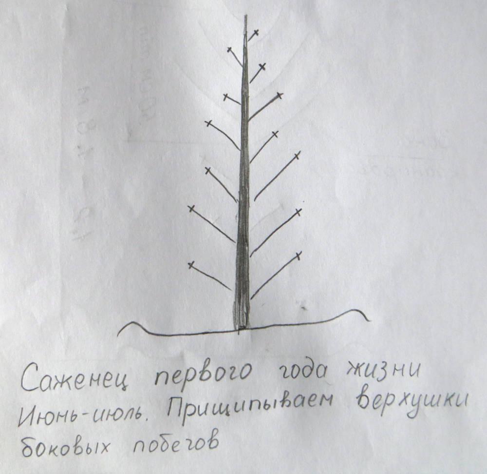 Сильный и красивый грецкий орех: формируем крону по методу Николая Киктенко