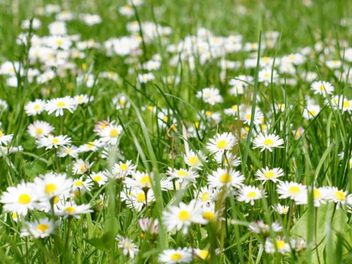 Ромашка - солнечный цветок