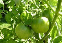 Обрывать ли листья у томатов?