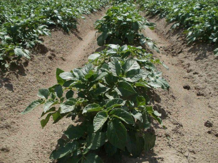 Догляд за картоплею від посадки до прибирання