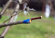 Летние перепрививки плодовых деревьев