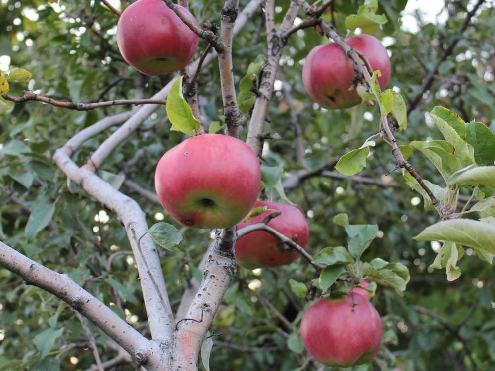 На что привить алычу, какие сорта яблок выбрать?