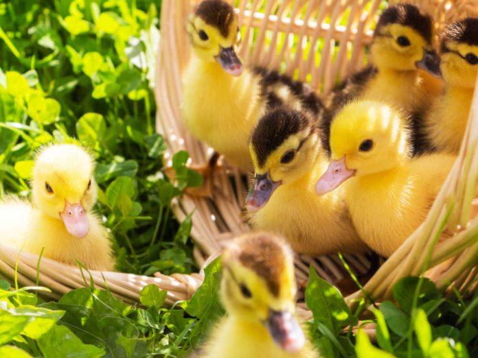 Розведення качок - заняття захоплююче і прибуткове