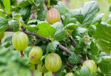 Крыжовник после плодоношения: особенности ухода