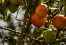 Уход за древовидными томатами