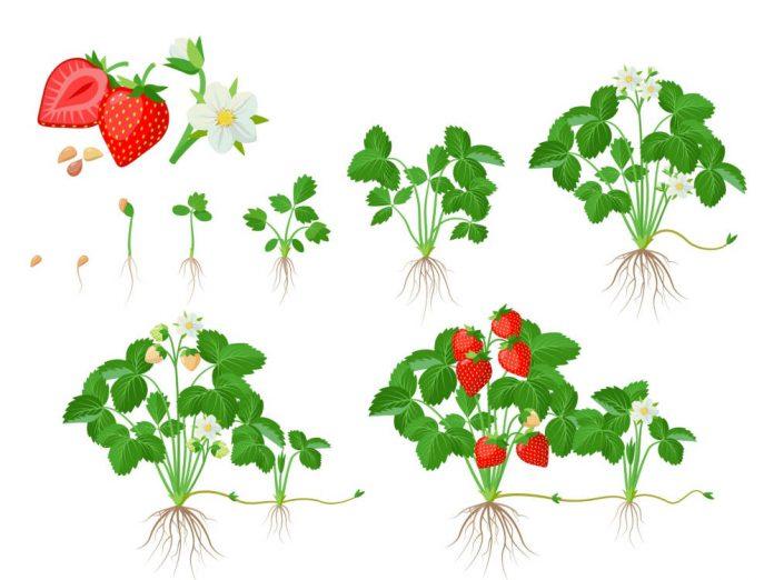 Как собрать и посеять семена земляники?