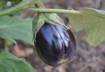 Главные составляющие успешного выращивания баклажанов