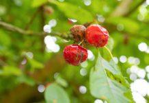 У черешни и вишни гниют ягоды