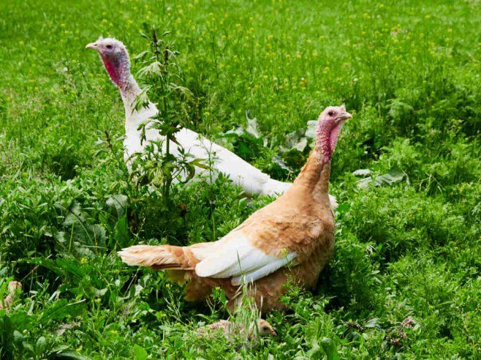Индейки любят свободу. Почему гибнут цыплята
