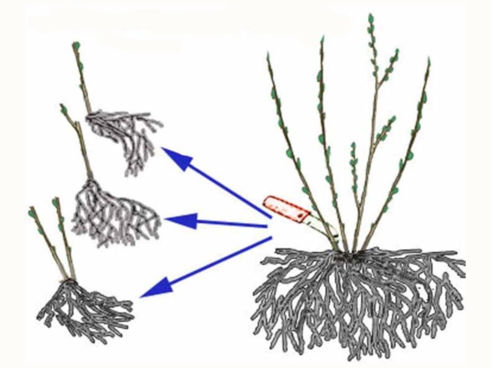 Способы и тонкости размножения крыжовника