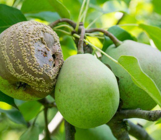 Плоды груши загнивают