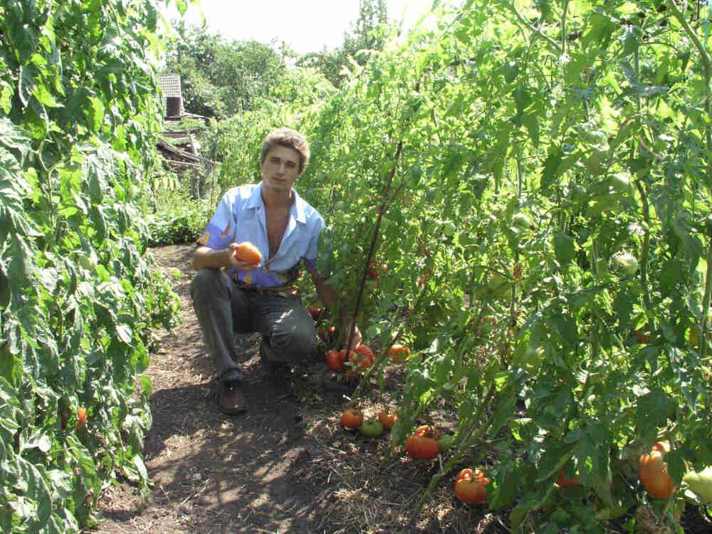 Собираем семена. Кажется, совсем недавно увлекся томатами (снимку около 20 лет).