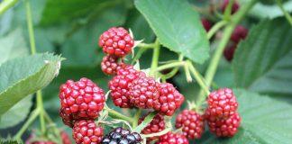 Внимание ягоднику и саду. Что делать в саду и огороде в августе