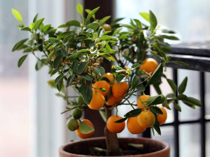 Апельсиновое дерево в доме