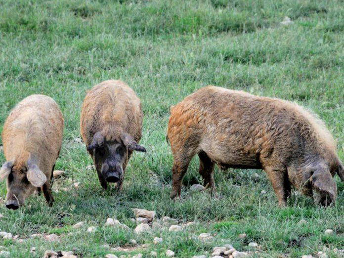 Травоядные свиньи: особенности разведения