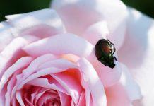 Какой жук розе не товарищ