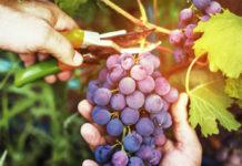 Работы на винограднике после сбора урожая