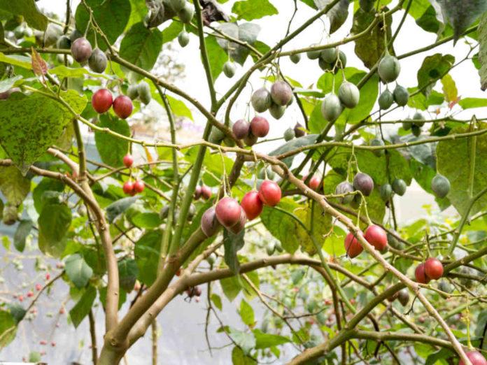 Обман с томатным деревом
