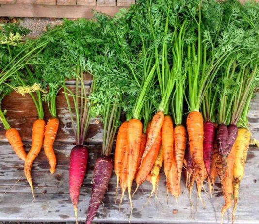 Теряю урожай моркови