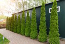Вечнозеленая туя украсит любой участок