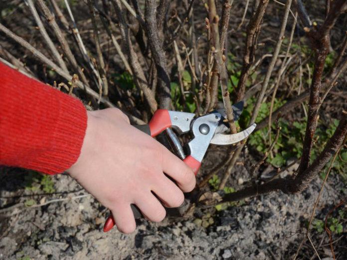 Обрезка черной смородины продлевает жизнь и увеличивает урожайность