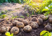Картофельная моль завоевывает территорию