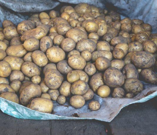 Храним картофель