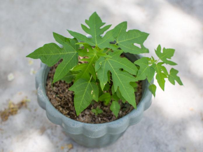 Папайя - дынное дерево