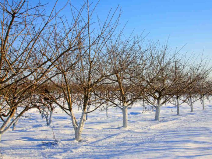 Как подготовить персик к зимовке