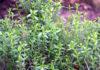 Чабер - перечная трава