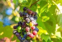 Подснежник и виноград