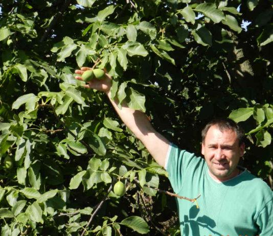 А орешки не простые, а крупноплодные и тонкокорые