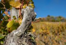 Раскорчевка старых кустов винограда