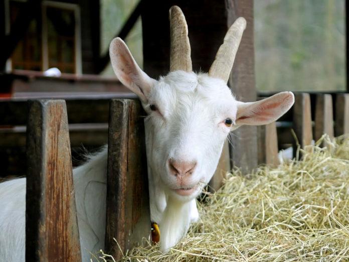 Время вести козу к козлу