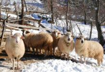 Вівці на зимовому раціоні