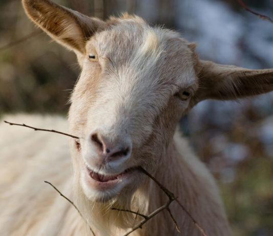 Переводим козу на… диету