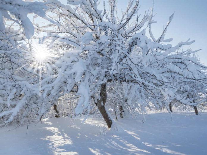 Предохраняем деревья от солнечных ожогов