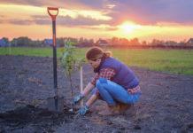 Як приготувати посадкову яму та обрізати кущі годжі