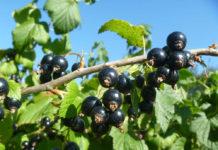 Черная смородина - витаминный чемпион