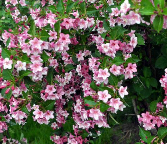 Украсим сад вейгелой